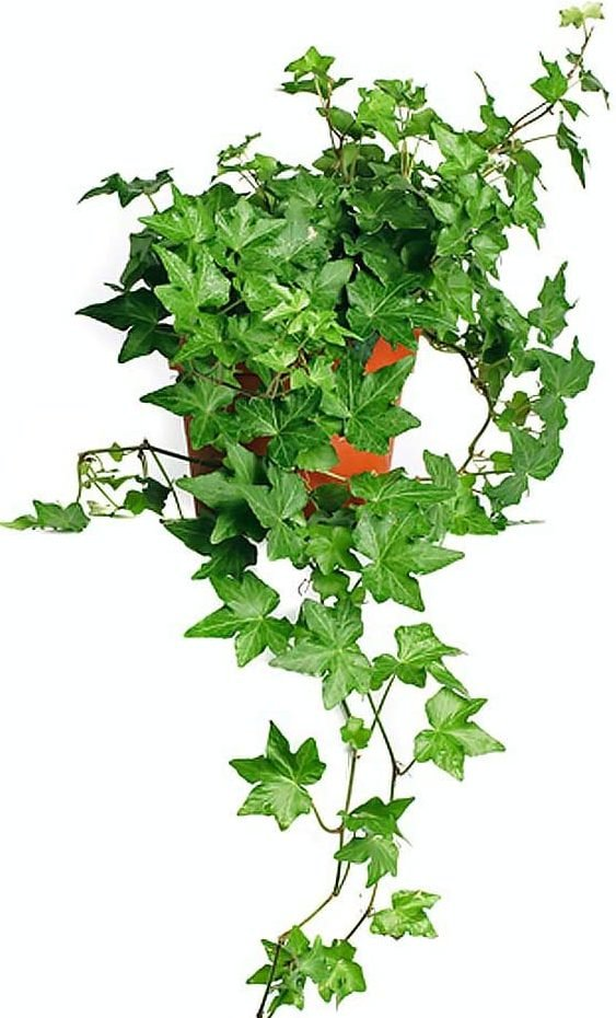 English Ivy Baltic Trailing Vine Live Plant