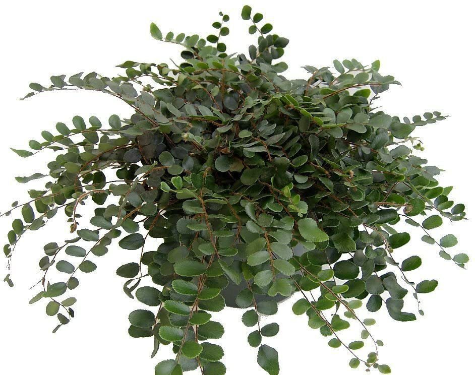 Hirt's Button Fern
