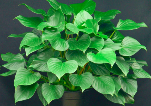 Emerald Gem Queen of Hearts Plant